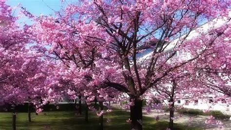 japanese blossom tree cherry blossom tree japan albero di ciliegio stunnering