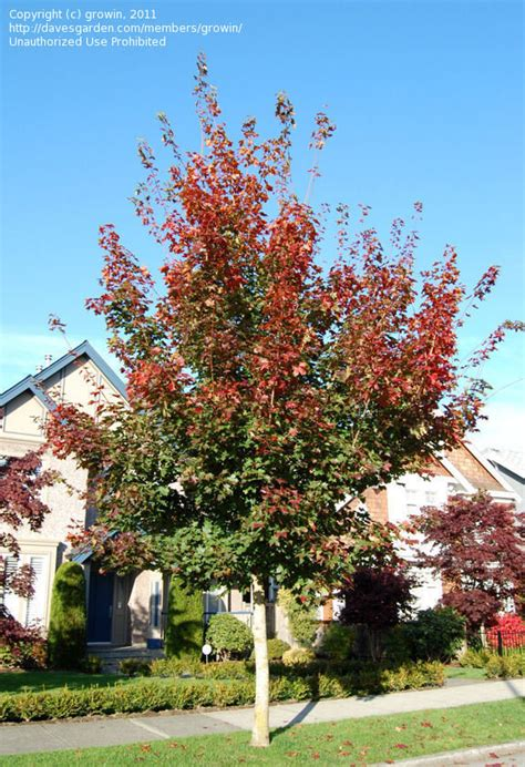 plantfiles pictures hybrid maple pacific sunset acer