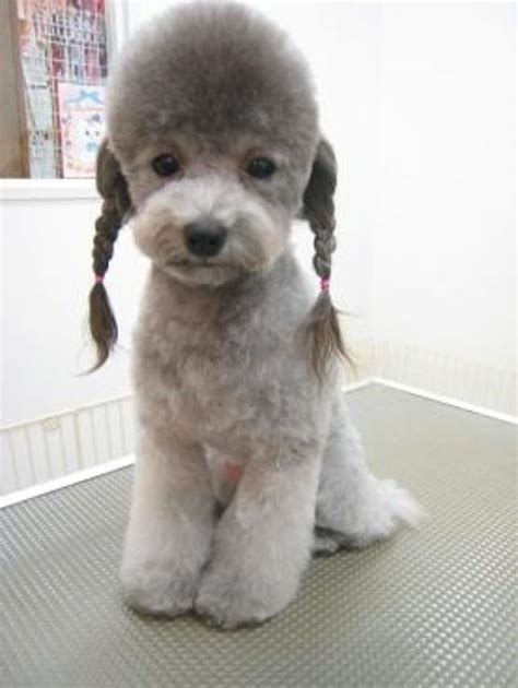 poodle grooming styles 1000 images about beauty on pinterest