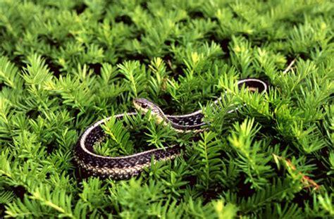 Garden Snake Habitat Snakes Of Massachusetts