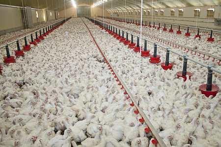 La viande du poulet d'élevage intensif mise en cause