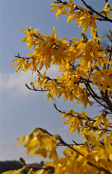 shade flower forsythia in yellow color png
