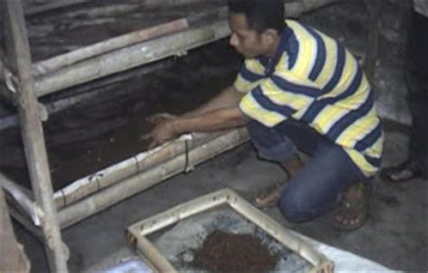 Bibit Ternak Belut cara beternak bibit belut medan sumut budidaya cacing