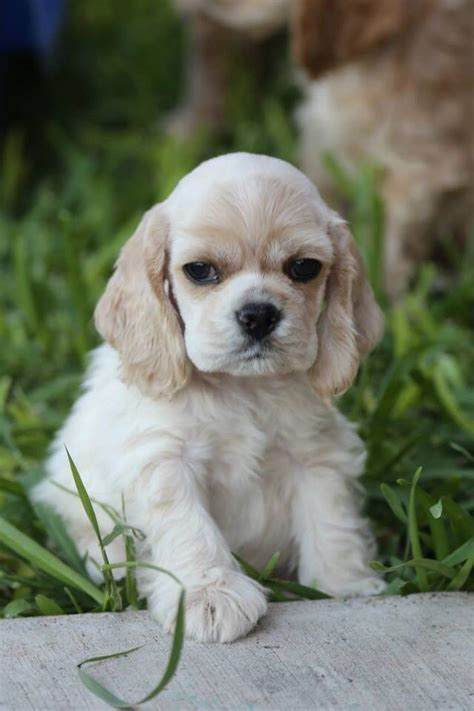 how much are cocker spaniel puppies 3141 best bit of fluff images on animals adorable animals and puppies