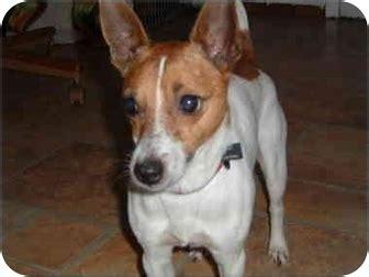 pitbull puppies for sale in toledo ohio bernie adopted toledo oh terrier