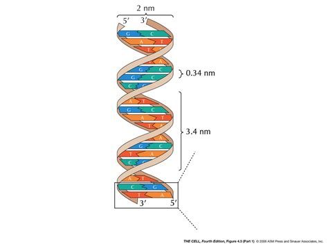 what is the length of a full size bed genetic material