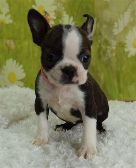 puppies for sale harrisburg pa boston terrier puppies for sale harrisburg pa 227640
