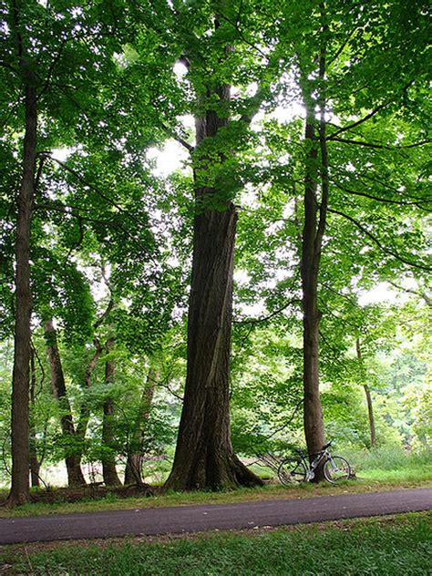trees new jersey new jersey nj state tree list of 50 state trees of the