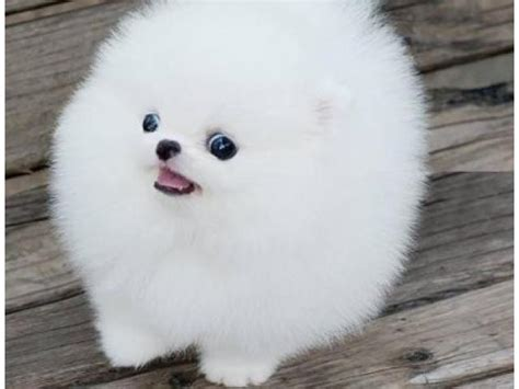 white pomeranian puppies for sale australia tiny white and black teacup pomeranian puppies buy and sell australian