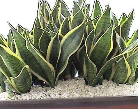 cacah daun  perbanyakan sansevieria  cepat