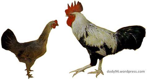 mengenal varietas ayam lokal indonesia 2 cakrawala