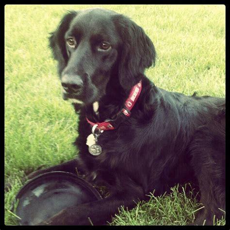 setter lab mix dog pinterest the world s catalog of ideas