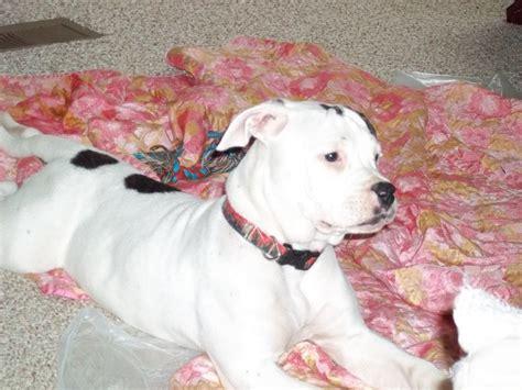 blue american bulldog puppies die besten 25 blue american bulldog ideen auf blauer pitbull blue nose