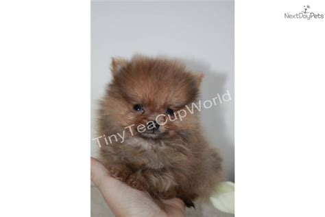 tiniest tiny micro teacup pomeranian puppy meet babydoll micro quot casey quot a pomeranian puppy for sale for 2 999 world s