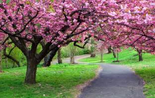 wallpaper tree flower park path grass cherry blossom
