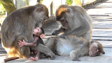 baby monkeys  borneo long tailed macaques  bako visitcom youtube