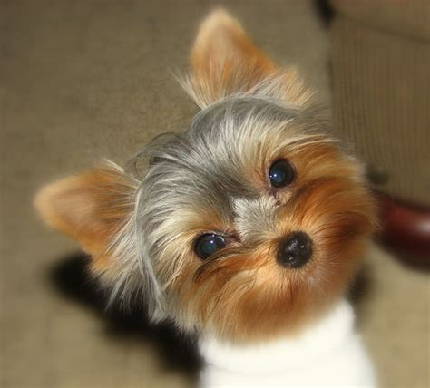 yorkie vs teacup yorkie terrier hairstyles