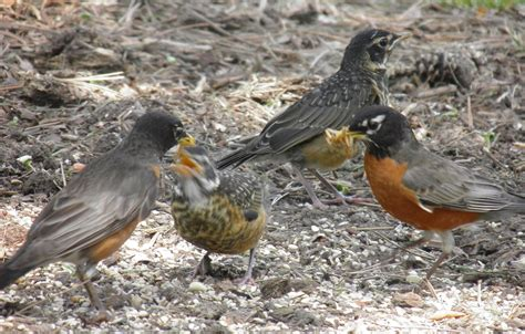 what do american robin bird eat birds unlimited june 2015