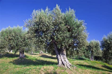 olivenbaum im garten olivenbaum garten