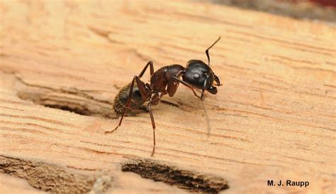 chewing wood carpenter ants here and there conotus spp bug of the week