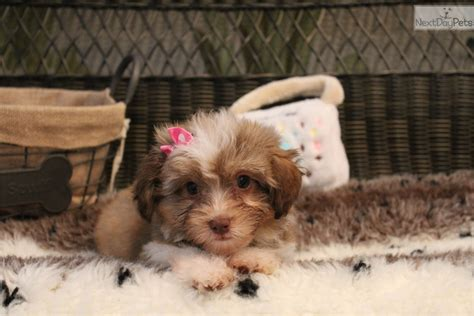 how big havanese dogs get havanese puppy for sale near west palm florida 916efa53 3ee1