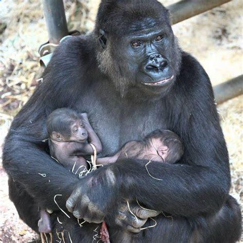 rare gorilla twins surprise staff  burgers zoo zooborns