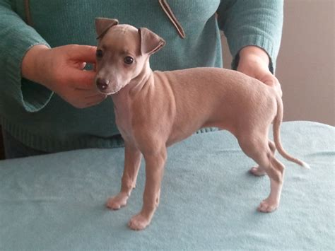 italian greyhound puppies italian greyhound info temperament puppies pictures