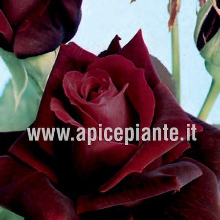 rosa nera fiore rosa grandiflora rifiorente rosa nera