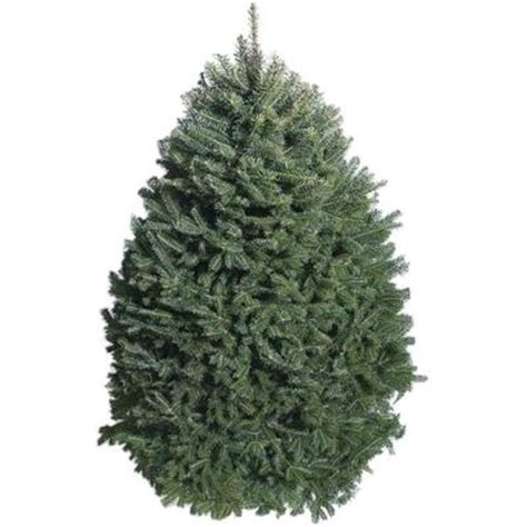 7 ft to 8 ft fresh cut balsam fir christmas tree in