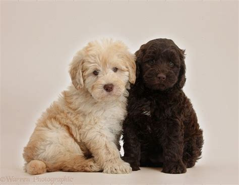 goldendoodle puppy toys 493 best images about goldendoodles dogs i on