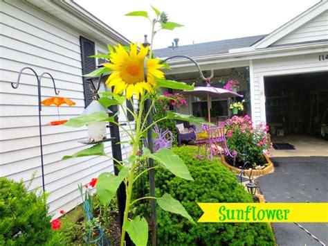 Sunflower Garden Ideas Sunflower Garden Ideas Garden Ideas And Garden Design