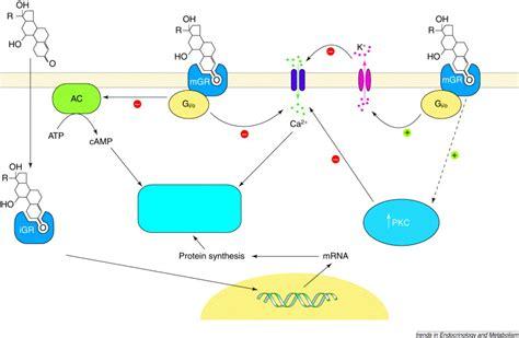 Glucocorticoids Also Search For Nongenomic Membrane Actions Of Glucocorticoids In Vertebrates Trends In Endocrinology