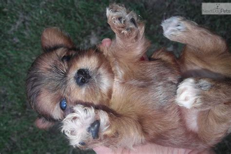 shorkie puppy for sale near fayetteville arkansas