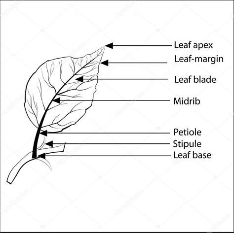 Beschriftung Querschnitt Laubblatt by Parts Of A Leaf Stock Vector 169 Sanjayart 107474892