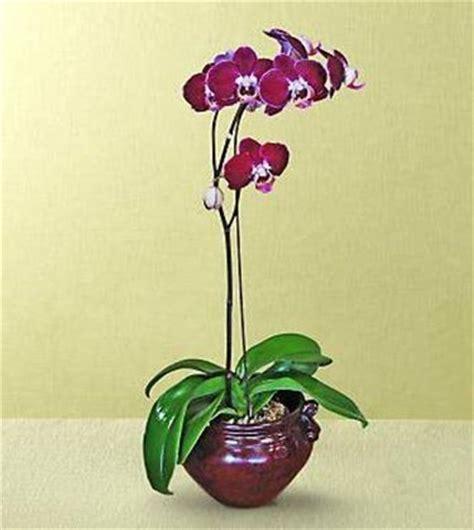 manutenzione orchidee in vaso coltivare le orchidee in vaso cura orchidee coltivare