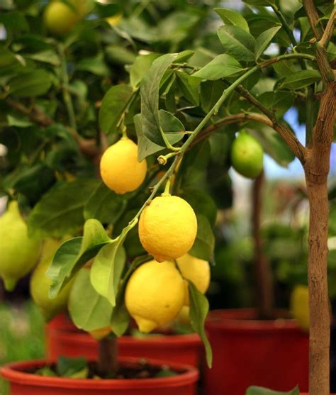 moving fruit trees 25 best ideas about fruit trees on