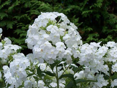 Phlox Midsummer White Perennial Pleasures Nursery Flower Garden Plants