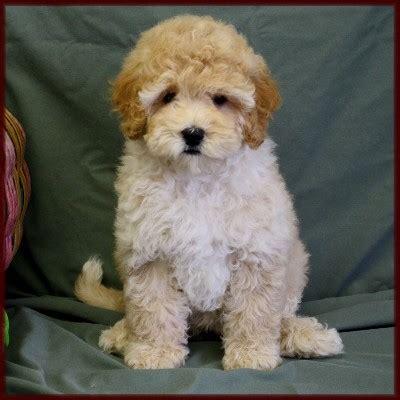 bichon poodle puppies bichon poodle poochon bichpoo puppies for sale in iowa breeds picture