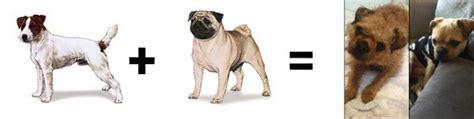 pug math 26 mutt math equations barkpost