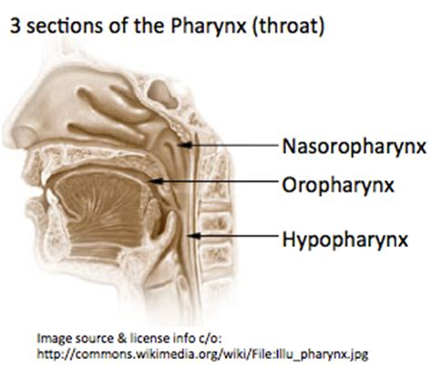 what are the three sections of the pharynx oropharyngeal cancer cancerindex