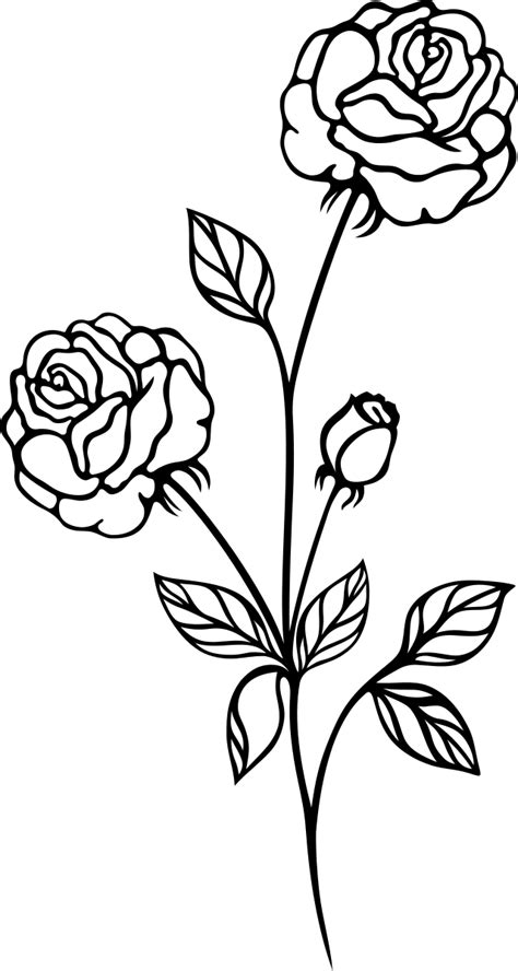drawn rose bush black and white pencil and in color