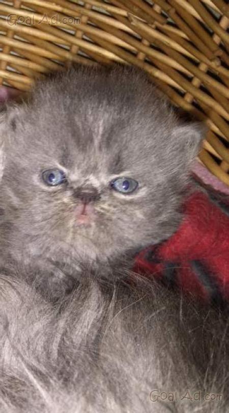 vendo gatti persiani gatti persiani vendo coppia maschio femmina cerca