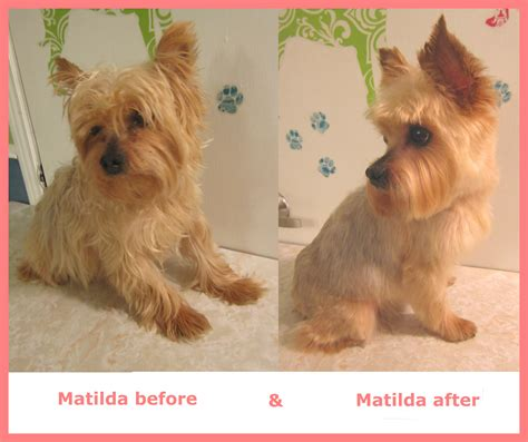 before and after pics of yorkie haircuts matilda the yorkie doggroomingbyjanice