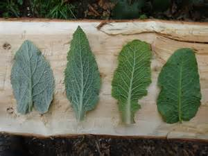 Foliage Plant Identification - how to tell apart foxgloves primroses burdock and dock