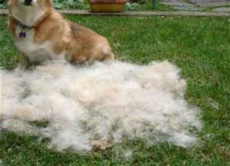 excessive shedding in dogs shedding a lot what you can do aetapet