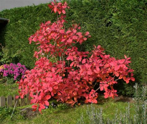 Arbre à Planter by Cotinus X Dummeri Grace My Beautiful Jardin