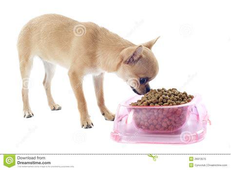chihuahua dog eating food from a bowl royalty free stock puppy chihuahua and food bowl royalty free stock photo
