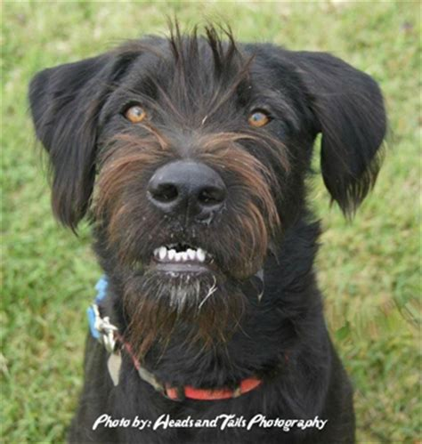 rottweiler schnauzer mix pet of the month mulder the murfreesboro pulse