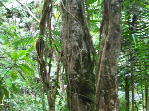 woody climbing plant www elyunqueeb