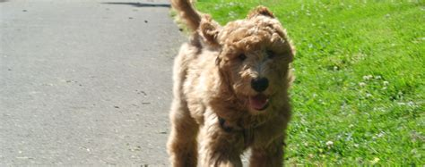 Goldendoodle Puppies Portland Oregon And Goldendoodle